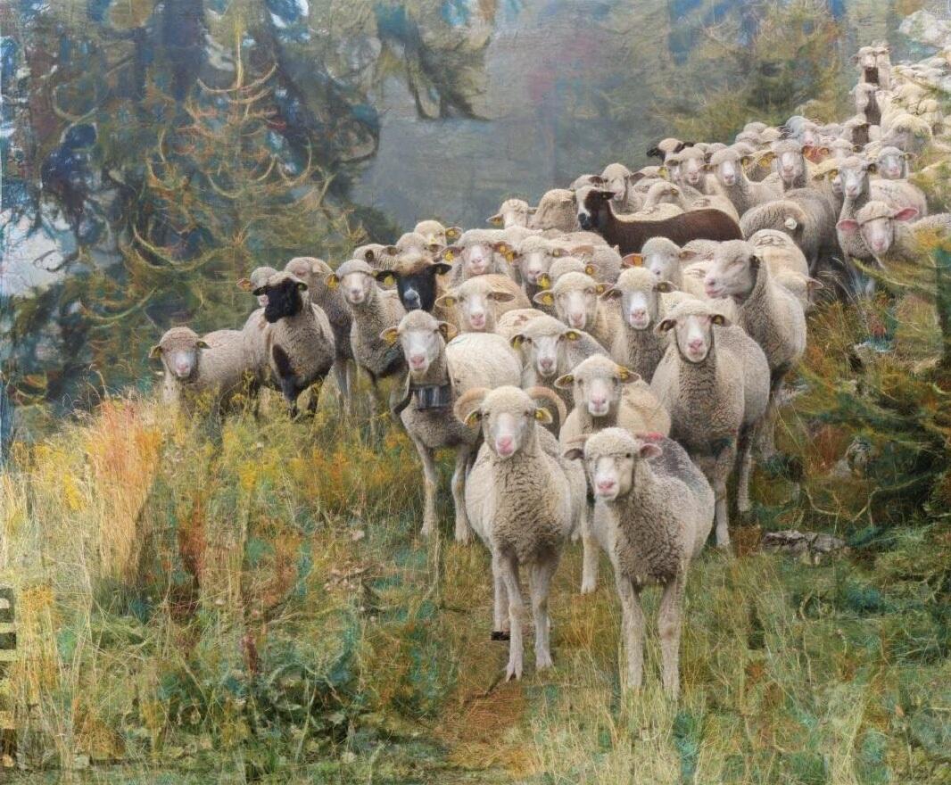 Sheep_6903