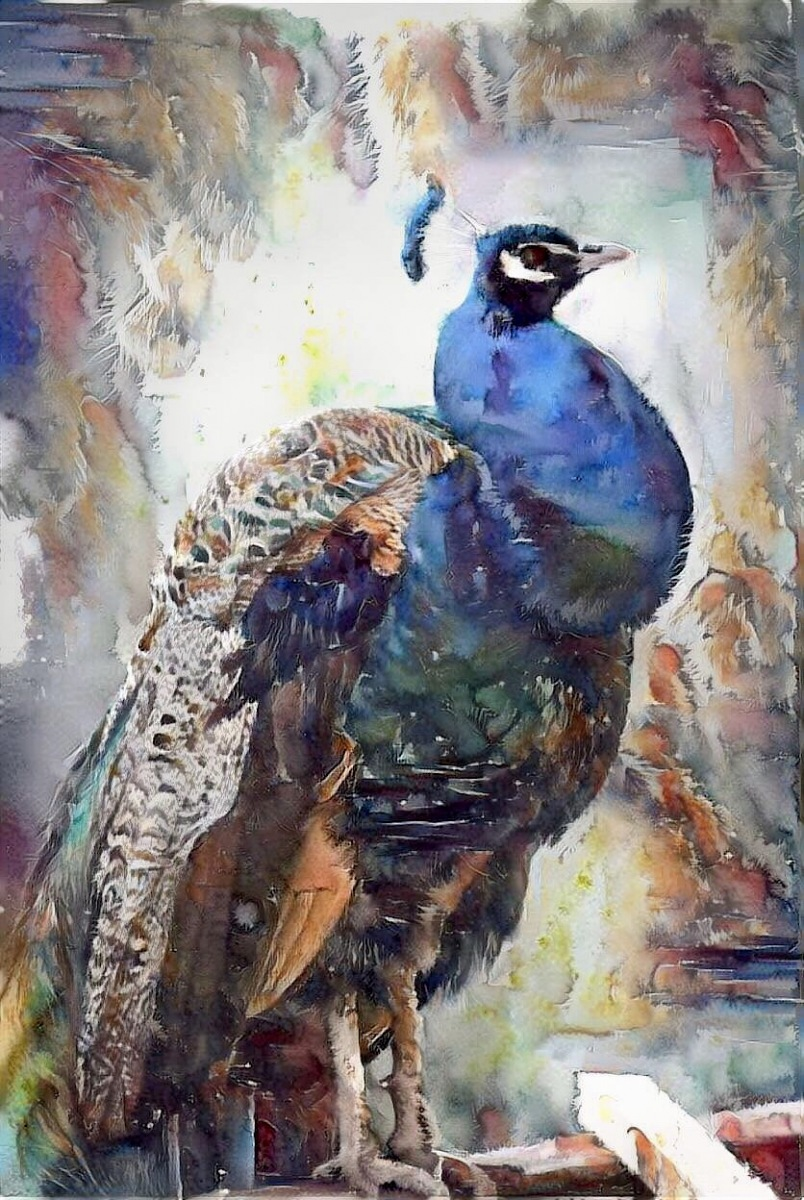 Peacock_6928