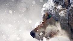 Wolf_0916