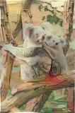 Koala _4825