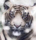 Tiger_0915