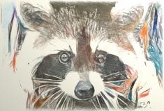 Raccoon _1421