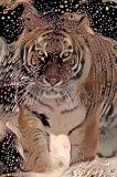 Tiger_3922