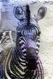 Zebra_4066