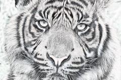Tiger_0911