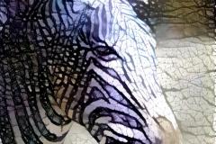 Zebra_4069